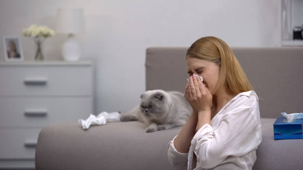 Woman sneezing from cat allergy, scottish fold sitting on couch, antihistamines Woman sneezing from cat allergy, scottish fold sitting on couch, antihistamines antihistamine stock pictures, royalty-free photos & images