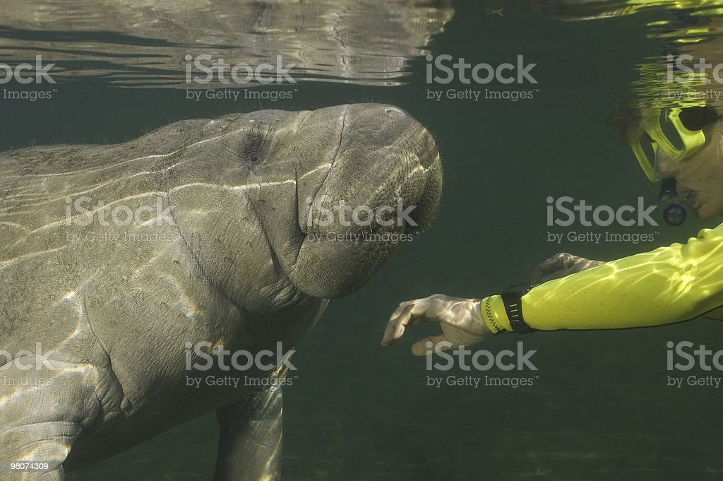 Woman snorkeler meets Manatee royalty-free stock photo