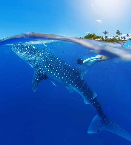 woman snorkeling with whale shark - cebu stockfoto's en -beelden