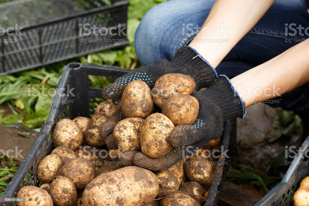 Woman sorting potato stock photo