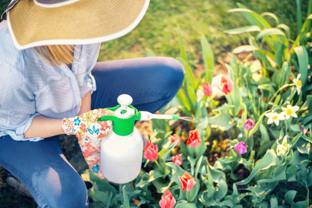 Woman spraying flowers in the garden Woman spraying flowers in the garden spray for insects stock pictures, royalty-free photos & images