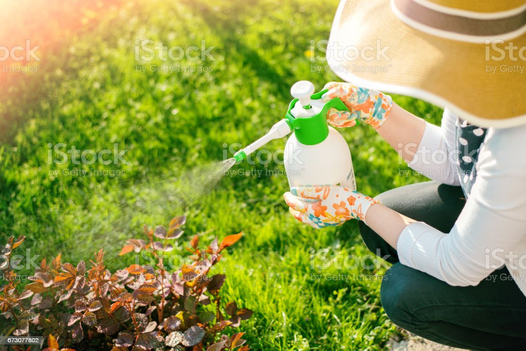 Woman spraying flowers in the garden stock photo