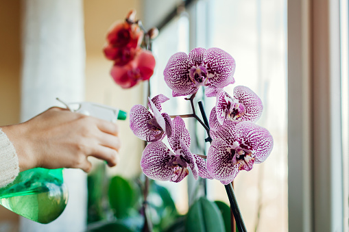 Woman spraying water on blooming orchid on window sill. Girl taking care of home plants and flowers. Hobby