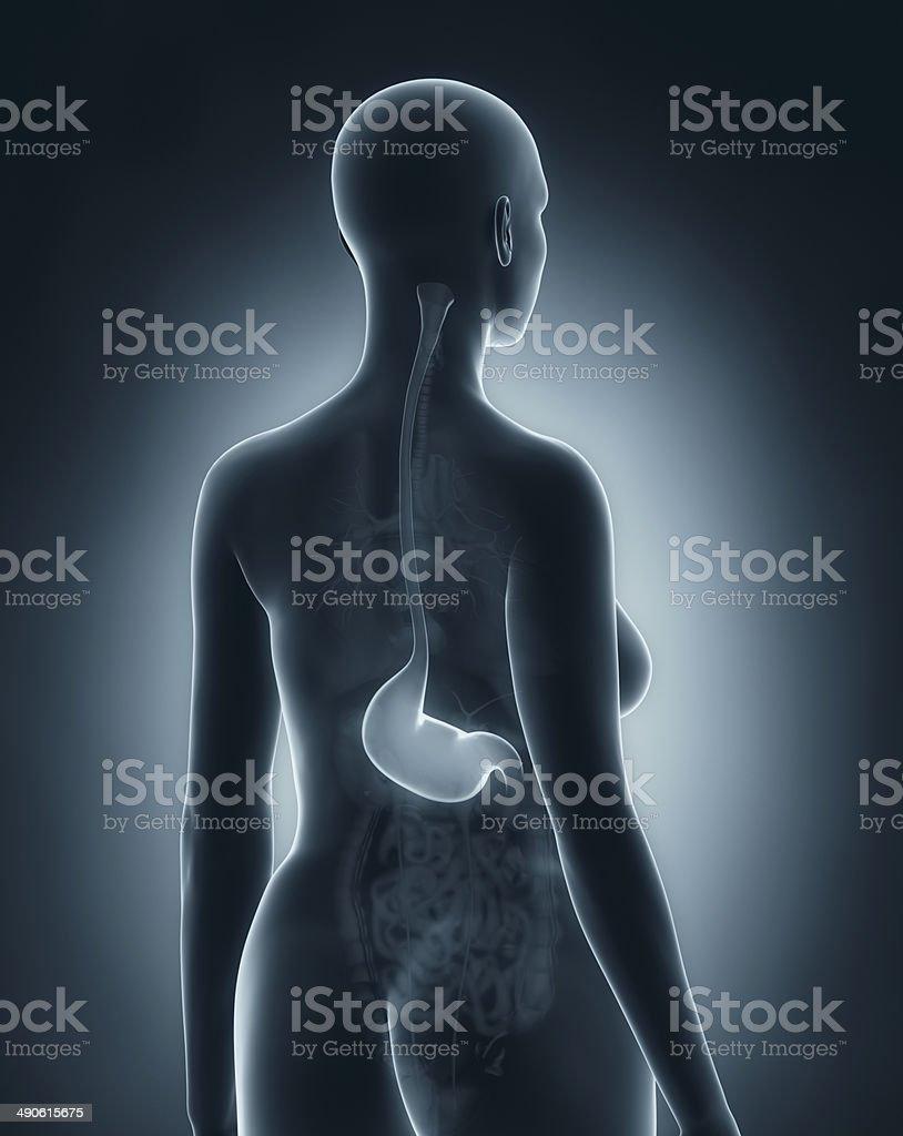 Woman stomach anatomy xray black posterior view stock photo more woman stomach anatomy x ray black posterior view royalty free stock photo ccuart Choice Image