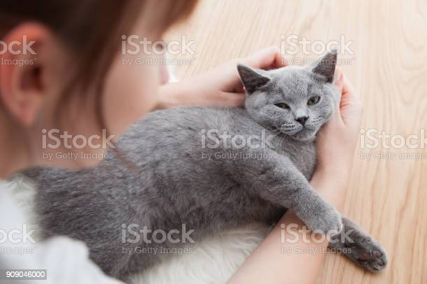 Woman stroke her car the british shorthair pedigreed kitten picture id909046000?b=1&k=6&m=909046000&s=612x612&h=xbqgxs2xv4jm b9ovsgne0sezfkq ctaqytoddyn3zs=