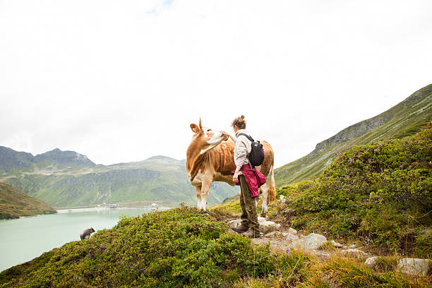 Woman stroking a cow, Alps, Tirol, Austria stock photo