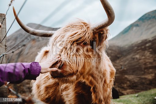 istock Woman stroking a cow in the wild nature 1272370866