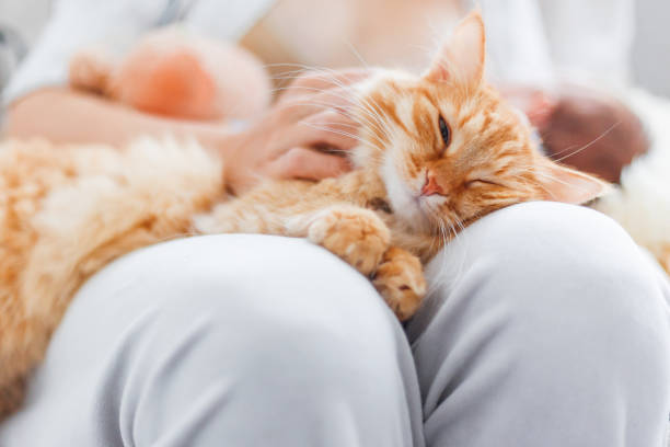 Woman stroking cute ginger cat on her knees. Fluffy pet frowning of pleasure. Cozy morning at home. stock photo
