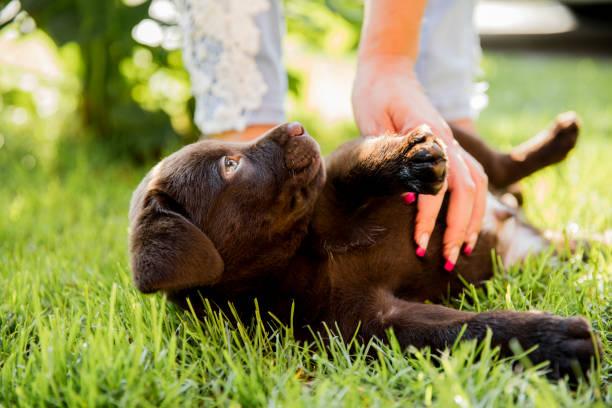 Woman stroking labrador retriever puppy on grass picture id665058800?b=1&k=6&m=665058800&s=612x612&w=0&h=1qwswar 9ekawzetmcfbnbrf90vspyktpoe1fxjuhwi=