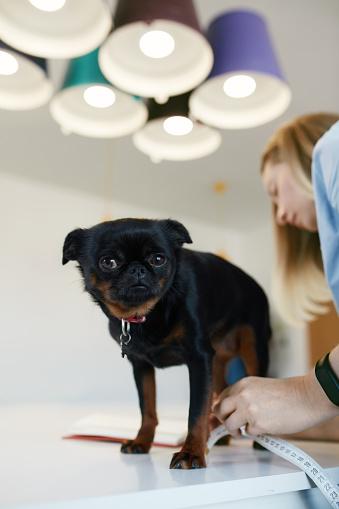 Kadın Köpeğin Vücut Ölçümleri Alarak Stok Fotoğraflar & Dikey'nin Daha Fazla Resimleri