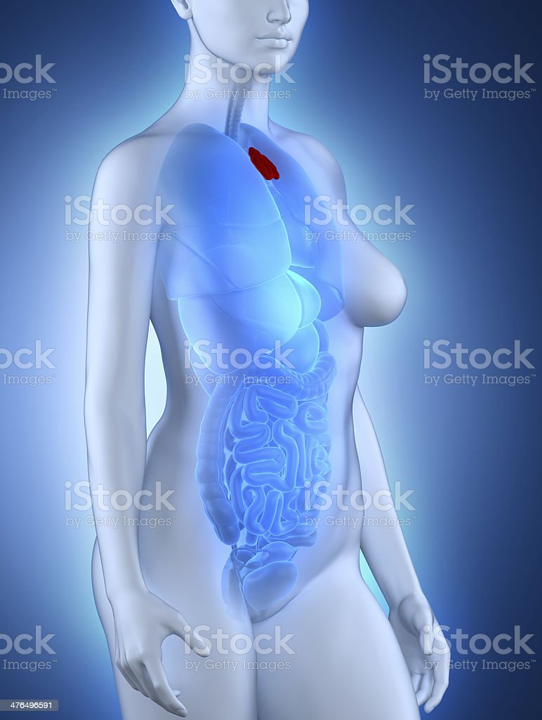 Woman thymus anatomy royalty-free stock photo