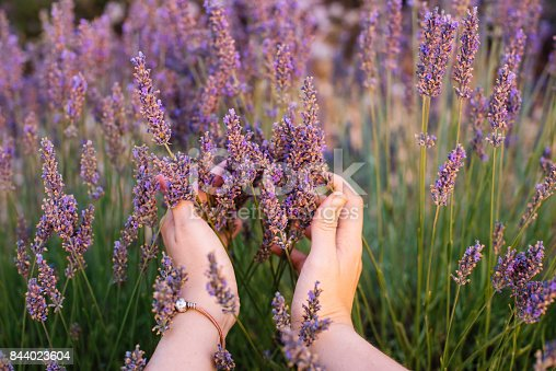 istock Woman touching blossoming lavender in the lavender field with her hands, first person view, Provence, south France 844023604