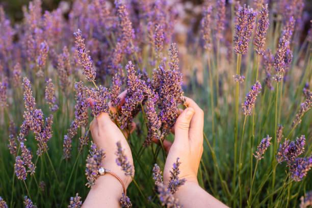 彼女の手で最初の人ビュー、プロバンス、南フランスのラベンダー畑で花のラベンダーに触れる女性 ストックフォト