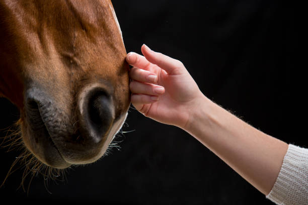 Woman touching horse stock photo