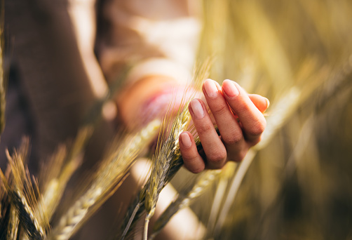 Close up of young woman's hand touching the heads of barley crops in a field