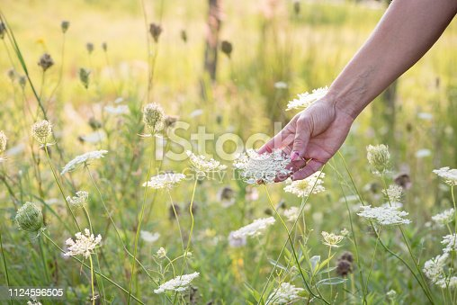 woman in field of wildflowers holding queen annes lace flower in hand