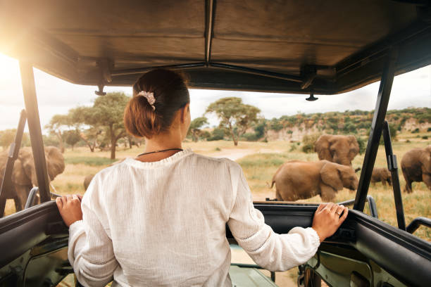 Woman tourist on safari in Africa, traveling by car with an open roof in Kenya and Tanzania, watching elephants in the savannah stock photo