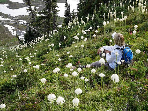 Woman tourist sitting among wild flowers with view. High Skyline trail on Mount Rainier National Park, Seattle,  Washington, USA. corn lilly stock pictures, royalty-free photos & images