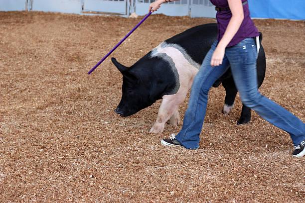 donna formazione presso la state fair maiale - cinghiale animale foto e immagini stock