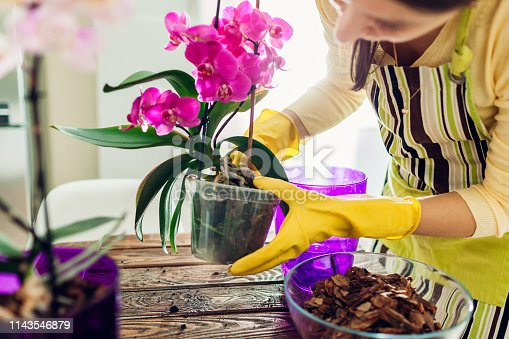 Woman transplanting orchid into another pot on kitchen. Housewife taking care of home plants and flowers. Gardening
