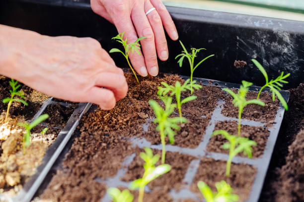 Woman transplanting seedlings stock photo