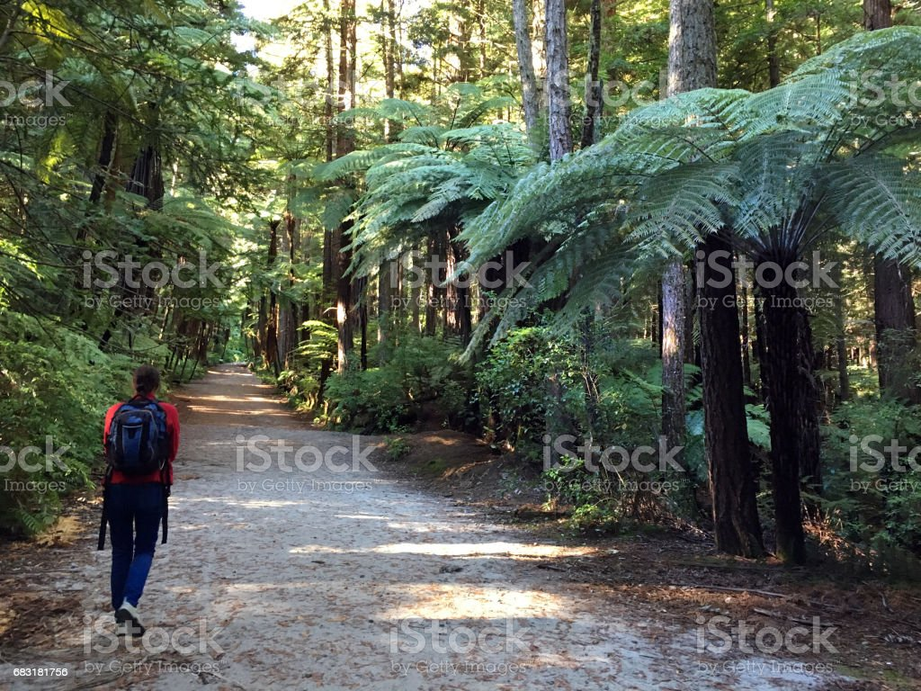 Woman travel and hikes in Giant redwood forests New Zealand royalty-free 스톡 사진