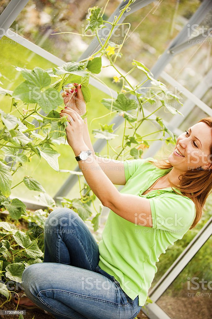 Woman tying cucumbers in greenhouse royalty-free stock photo