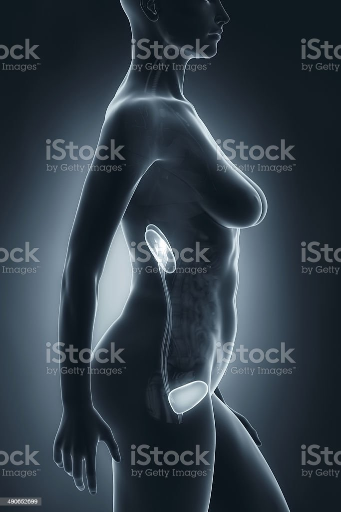 Woman Urinary System Anatomy Xray Lateral View Stock Photo & More ...