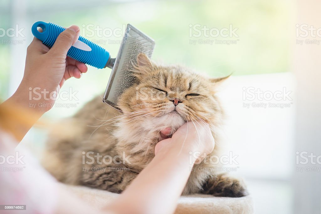 Woman using a comb brush the Persian cat stock photo