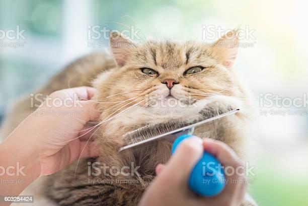Woman using a comb brush the persian cat picture id603254424?b=1&k=6&m=603254424&s=612x612&h=ed4gqpktnwzuicmrp7qev7aszhfmfjgecwyzefvxceo=