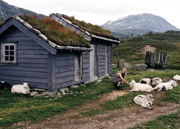 Woman Visitor Interacts with Goats at Mountaintop Farm in Norway stock photo