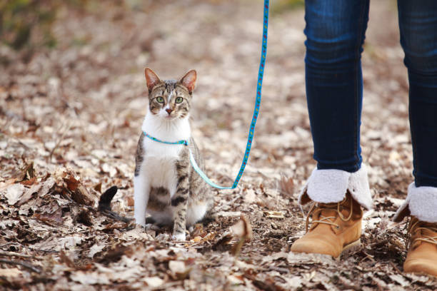 woman walking  cat on a leash outdoors in nature - cat leash stock photos and pictures