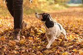 Woman walking in the woods with obedient dog in autumn - Jack Russell Terrier 7 years old