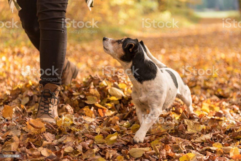 Frau, Wandern in den Wäldern mit Gehorsamen Hund im Herbst - Jack Russell Terrier 7 Jahre alt – Foto