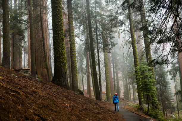 Woman walking through forest of ancient trees stock photo