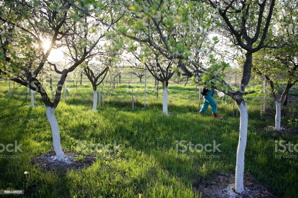 Woman walks in plum orchard stock photo