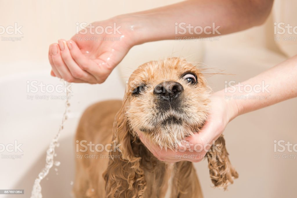 Woman washes foam from a dog stock photo