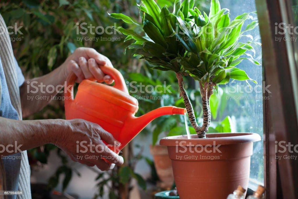 woman watering flowers stock photo