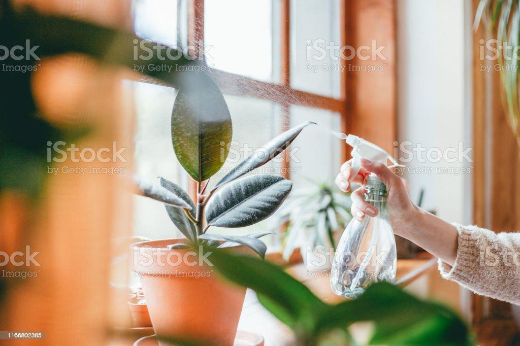 Woman watering houseplants - Foto stock royalty-free di 18-19 anni