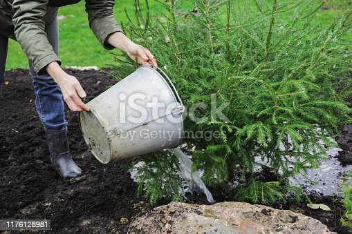 landscape designer caucasian woman watering with liquid fertilizers of young fir tree, autumn preparing for winter on garden plot, stock photo image
