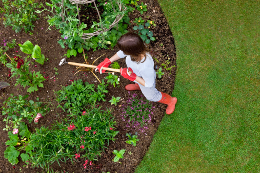 Overhead bird's eye view of woman weeding a garden flower bed with a hoe. Sweet peas and french beans are growing up a wigwam, with newly planted roses, nasturtium, canna, dahlia etc.