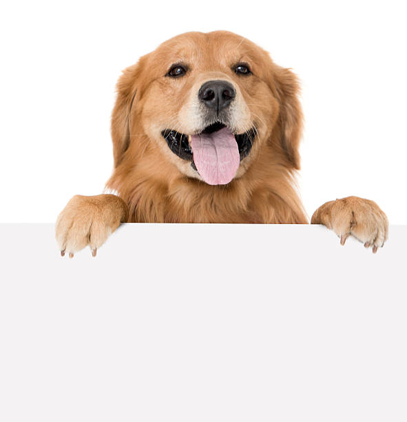 woman with a banner - golden retriever stock photos and pictures