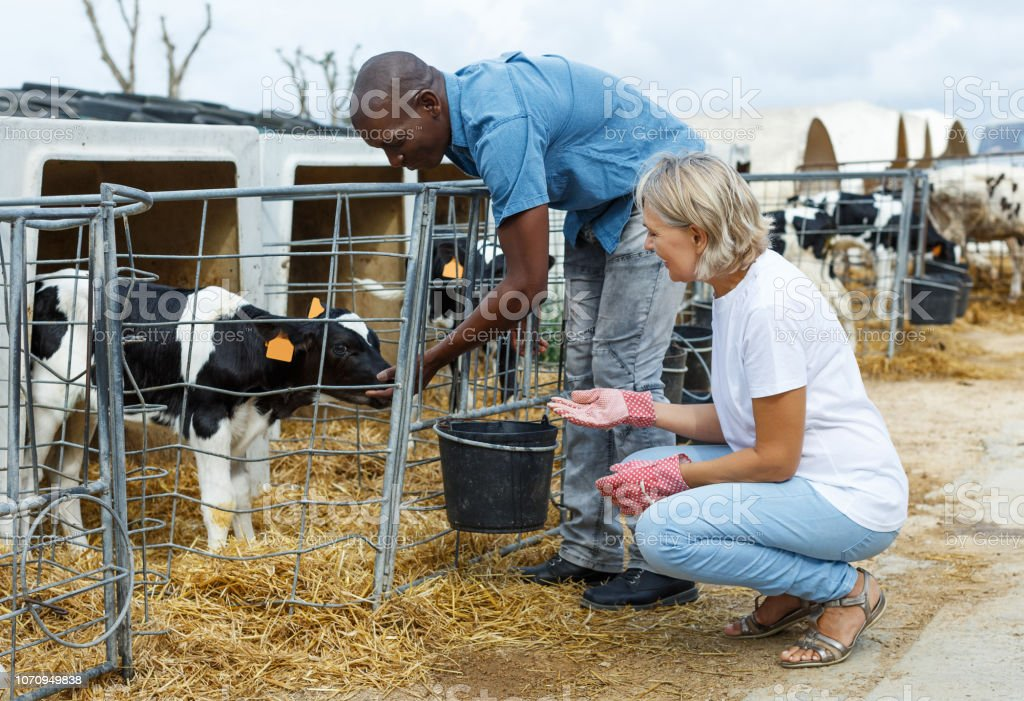woman with assistant feeding calves stock photo