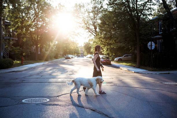 kvinna med flatinrome doodle hund promenader i gatan - walking home sunset street bildbanksfoton och bilder