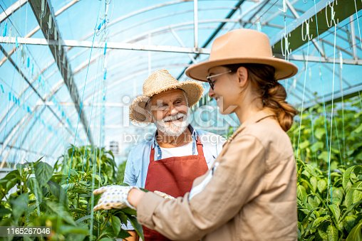 Young woman with grandfather taking care of pepper plantation in the hothouse of a small agricultural farm. Concept of a small family agribusiness