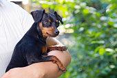 公園の外彼女少しピンシャー小型犬を持つ女性。