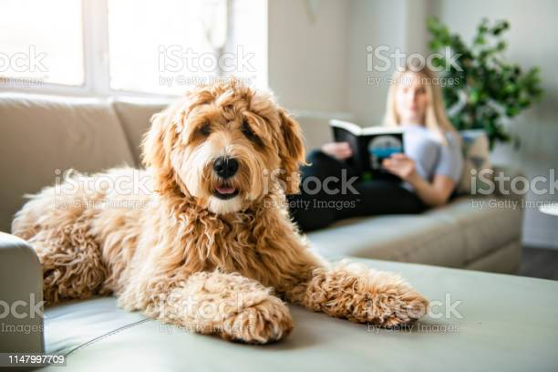 Woman with his golden labradoodle dog reading at home picture id1147997709?b=1&k=6&m=1147997709&s=612x612&h=9etbbq0bbyuuxnpvngeanwwtajjytdw9ct182rjcunw=