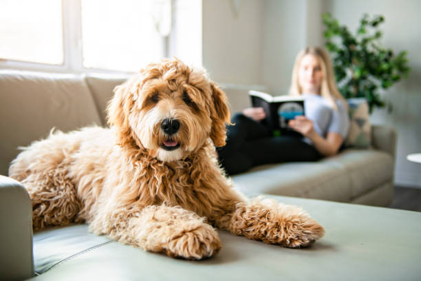 Woman with his golden labradoodle dog reading at home picture id1147997709?b=1&k=6&m=1147997709&s=612x612&w=0&h=z1v czx7wlkv3sx3l7qj3 tggp3uy9j0cs8mxnx7mw4=