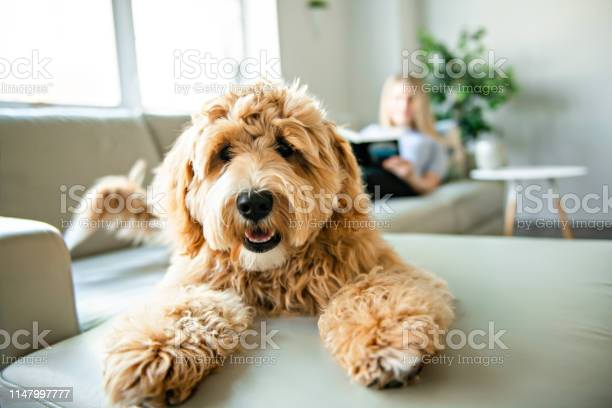 Woman with his golden labradoodle dog reading at home picture id1147997777?b=1&k=6&m=1147997777&s=612x612&h= t3hzeomog5jg2enkfyxjmwvvdcwkeoxm5oml5lbydk=
