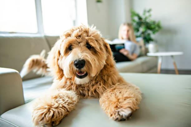 kvinna med sin golden labradoodle hund läsning hemma - animal doodle bildbanksfoton och bilder